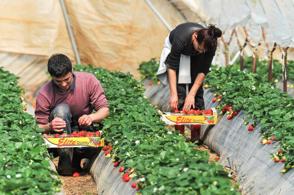 Recruitment For Fruit Harvester In Canada